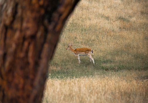Wild antelope in australian outback grassland