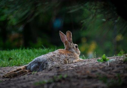 Rabbit taking a break laying in dirt under green bush