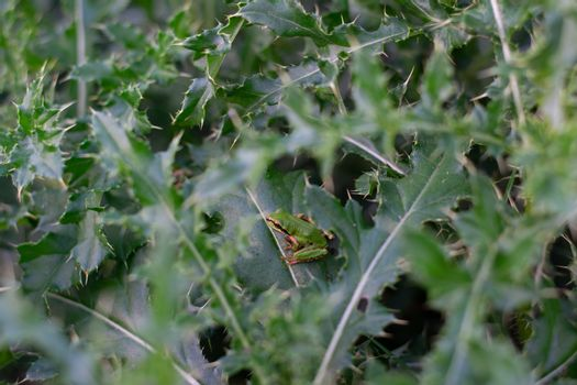 Green frog hiding in spiky bush for camouflage in the forest
