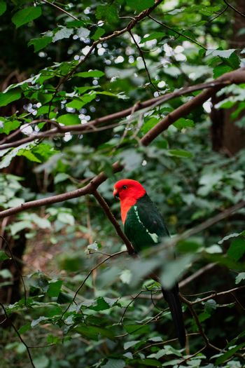 Bright red headed parrot resting in lush thick green trees