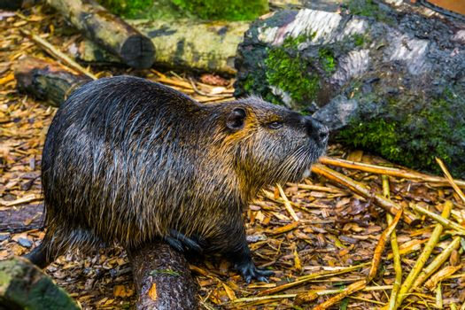 closeup portrait of a coypu, tropical water rodent from America