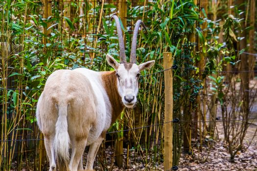closeup of a scimitar oryx from behind, sahara oryx looking in the camera, Extinct in the wild, Rare animal species