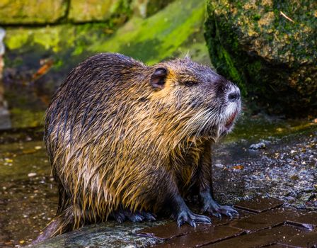 closeup of a coypu that just came out of the water, wet hairy fur, tropical rodent from America