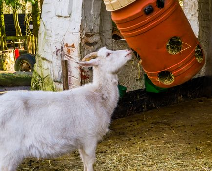 White goat eating hay out of plastic barrel, simple farm animal feeding solutions