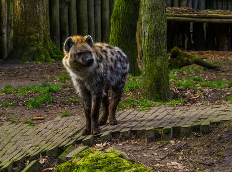 Spotted hyena in closeup, carnivorous mammal from the deserts of Africa
