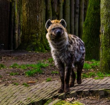 closeup portrait of a spotted hyena, Wild mammal from the desert of africa
