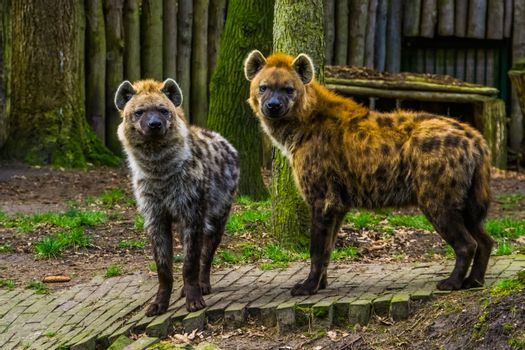couple of spotted hyenas standing next to each other, wild carnivorous mammals from the desert of Africa