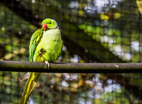 green ring necked parakeet in closeup, colorful parrot sitting on a tree branch, tropical bird from Africa