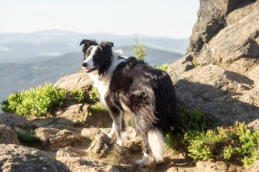 A border collie photographed while hiking in the mountains