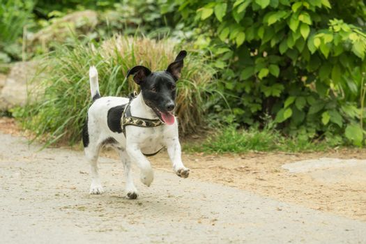 A little black and white Jack Russel plays outside
