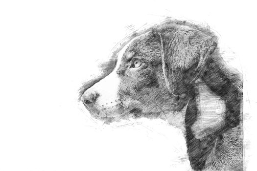 Appenzeller puppy - Sketch style