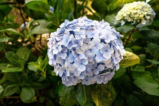 blue hydrangea or hortensia flower
