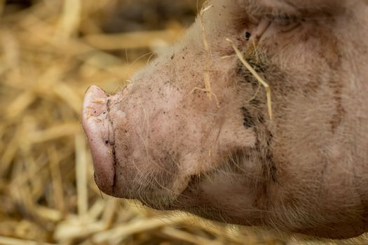 Close-up of a snout from the pig
