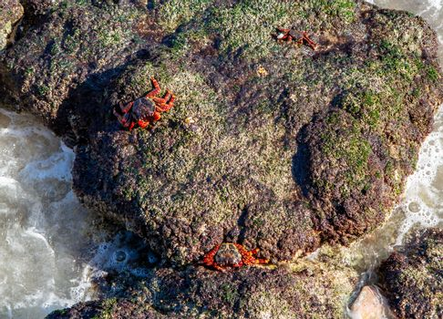 Red-footed crabs walk on stones on the coast of the Gulf of Oman