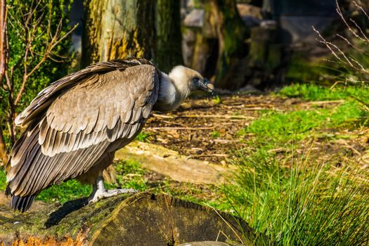closeup portrait of a griffon vulture on a tree trunk, common scavenger bird from europe