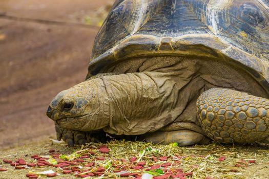 closeup of the face of a aldabra giant tortoise during feeding time, large tropical land turtle from Madagascar and seychelles, reptile specie with a vulnerable status
