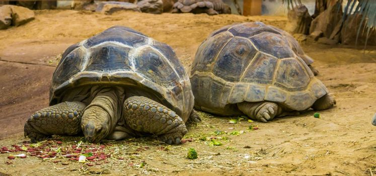 Aldabra giant tortoise eating food, animal and pet feeding, large tropical land turtles from seychelles and Madagascar, Reptile specie with a vulnerable status