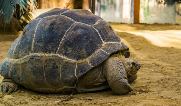 closeup portrait of a aldabra giant tortoise, worlds largest turtle specie, tropical and vulnerable reptile from seychelles and madagascar