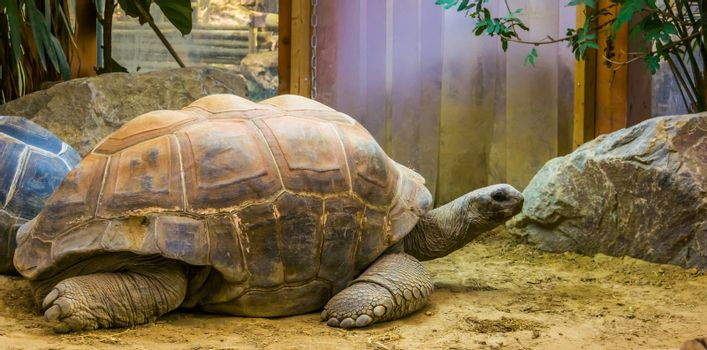 closeup of a aldabra giant tortoise, largest land turtle specie in the world, tropical reptile specie with a vulnerable status from seychelles and madagascar