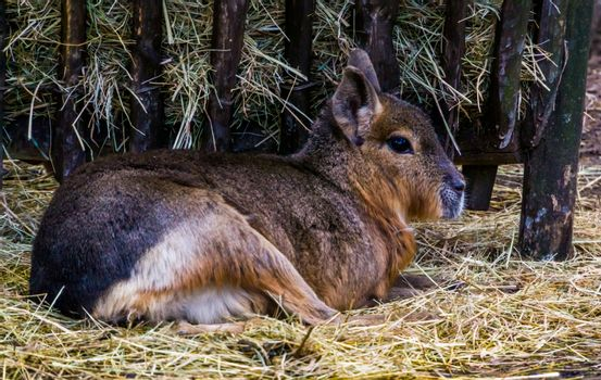 closeup of a patagonian mara sitting in the hay, near threatened rodent specie from Patagonia
