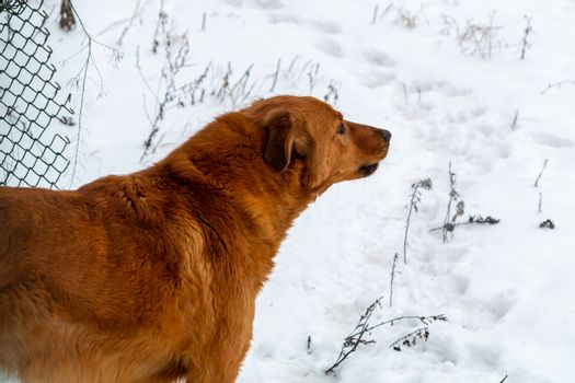 Beautiful red dog on the background of snow guards its territory