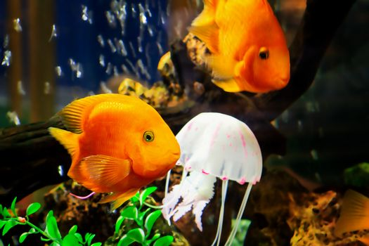 Goldfish swim in a large aquarium with green plants and air bubbles