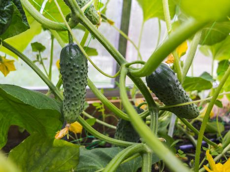 Green cucumbers grows on the bed in the greenhouse