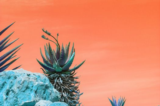 Abstract surrealistic blue and green succulent agave cactus plants with flowers against orange color sky