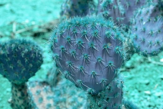 Abstract purple and turquoise thorny cactus closeup with spikes and little fruits