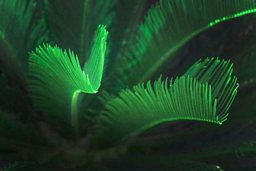 Surrealistic abstract green glow Mallorca endemic fan palm Mallorca endemic fan palm Chamaerops humilis lush leaves in sunshine.
