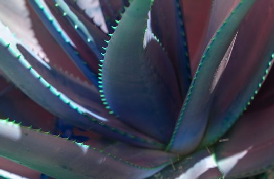 Abstract succulent agave and aloe vera plants closeup macro in surrealistic color scheme blue pink blue turquoise.