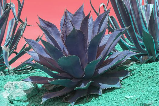 Surrealistic abstract succulent purple and turquoise agave