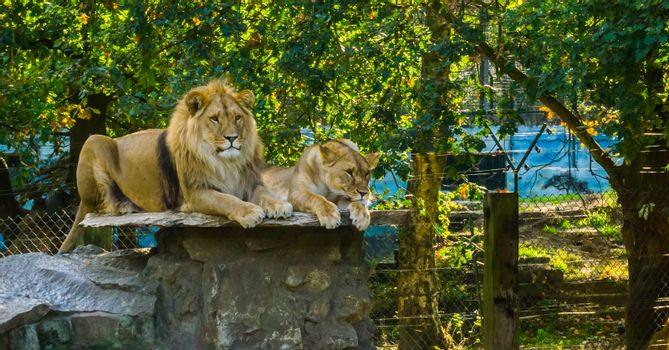 lion couple laying on a rock, Male and female pair together, Wild cats from Africa, Vulnerable animal species