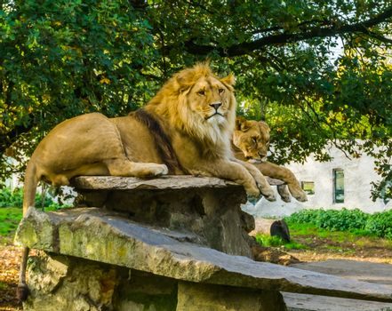 Closeup of a male and female lion together on a rock, lion couple, Wild cats from Africa, animal specie with a vulnerable status