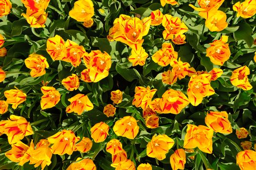 Yellow-red tulips flowerbed shot from above, Keukenhof Gardens in Lisse, Netherlands. Good as background or wallpaper.