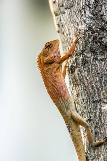 Small chameleon vertical hanging on tree.
