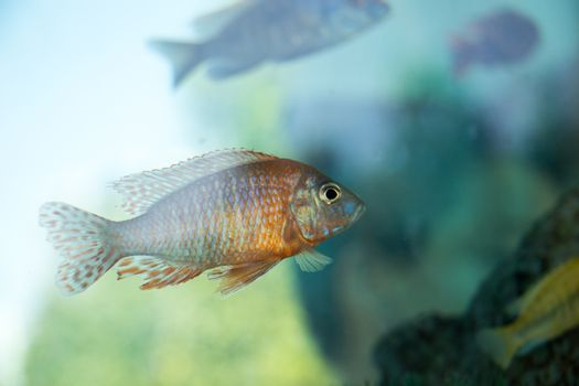 Beautiful colorful fish swims in the aquarium environment