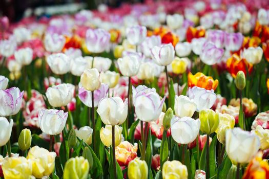 Blooming colorful tulip flowers in garden as floral background