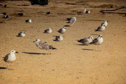 Seagulls on the ground  with brown soil