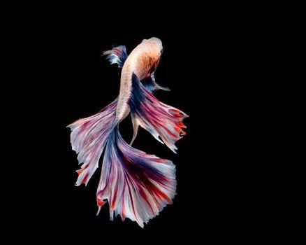 Multi-color betta fish