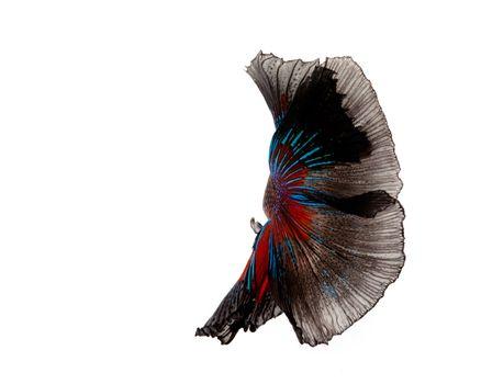 Multi-color betta fish, dancing fish in black