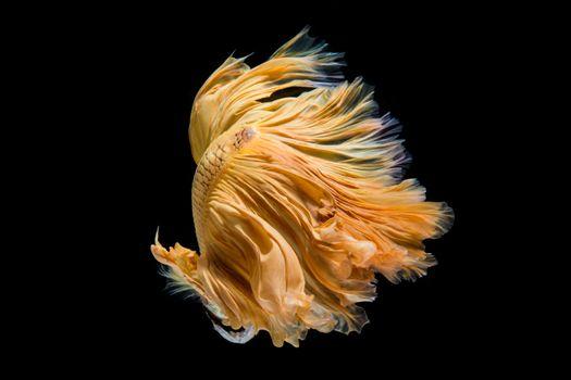 Multi-color betta fish, dancing fish in gold