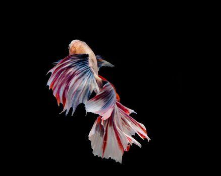Multi-color betta fish, dancing fish