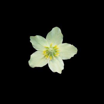 Helleborus Christmas white rose closeup isolated
