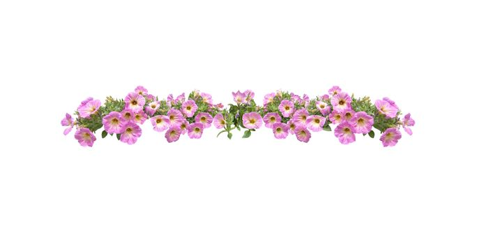Pink petunia flowers string margin element isolated