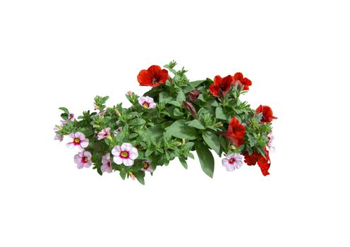 Red and white decorative petunia flowers