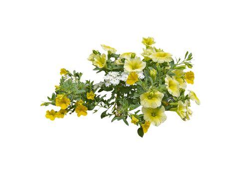 Yellow petunia flowers
