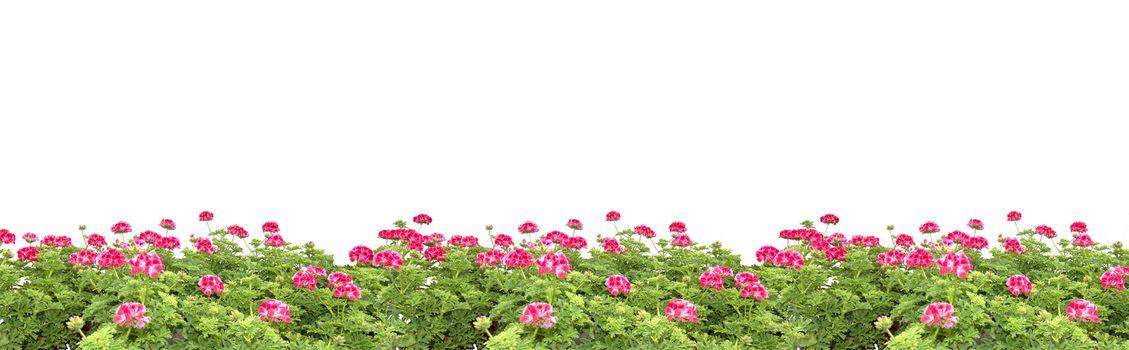 Pink geranium flowers margin