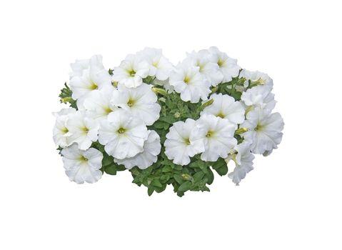 White petunia flowers