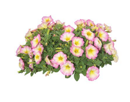 Multicolor surfinia flowers